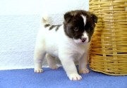beautiful Akita Puppies For Sale