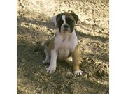 marvelous and caring Alapha Blue Blood Bulldog for Sale
