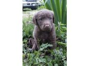 health and caring Chesapeake Bay Retriever for Sale