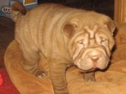cute and caring Chinese Shar-Pei for Sale