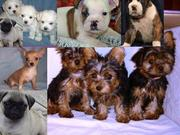 Teacup maltese, yorkie, chihuahua & pug, English Bulldog, boxer puppies