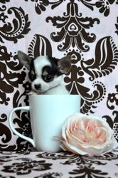 Teacup Pure Chihuahua Puppies