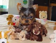 Gorgeous Yorkie puppies ready for a new home for St. Valentines day.