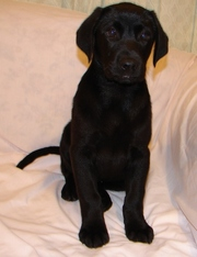 Good looking Labrador puppies for sale