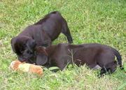 Ridgeback X Lab pups for sale
