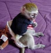 Healthy Well Trained Capuchin Monkeys Available!!
