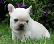 Healthy french bull dog puppies for adoption