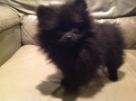 Adorable  Pomeranian Puppy For Re-homeing