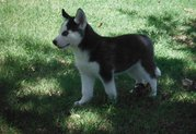 nice and lvey siberin husky puppies
