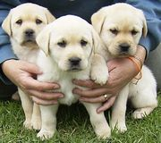 adopt a labrador puppy for free