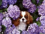 Cavalier King Charles Spaniel puppies for new home