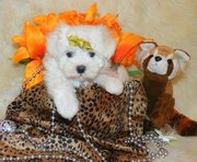 Pure Breeded Home Raised Maltese Puppies Ready For Adoption