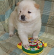 Adorable Chow Chow Puppies For Sale $500