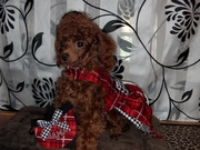 Red toy poodle puppies due dec2013 and jan2014