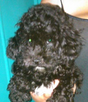 Miniature Poodle X Bichon Friese
