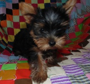 ADORABLE Teacup Yorkie Puppies~12 week Males and Females