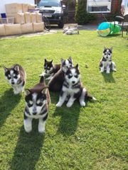 Blue Eye Siberian Husky puppies.