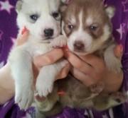 Male and Female Siberian Husky Pups
