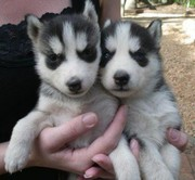 Husky Pups Available for Adoption...