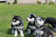 Two Siberian Husky Puppies For Re-homing