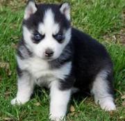 Sweet Siberian Husky puppies For Adoption