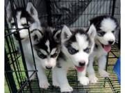 Siberian Husky Puppies For Sale.....
