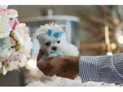Intelligent  X-Maltese Puppies Available.