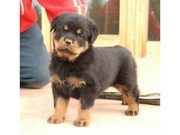 Cute Female Rottweiler Puppy