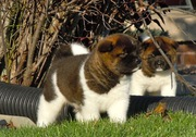Good ANKC register Akita puppies for sale