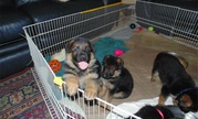 Charming German Shepherd Puppies Need New Home