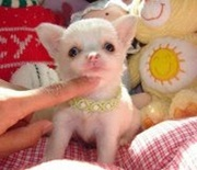 Stunning Smooth Coated Chihuahua Puppies