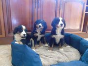 Beautiful Bernese Mountain Dog Pups.