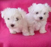Outstanding T-cup Maltese Puppies Available